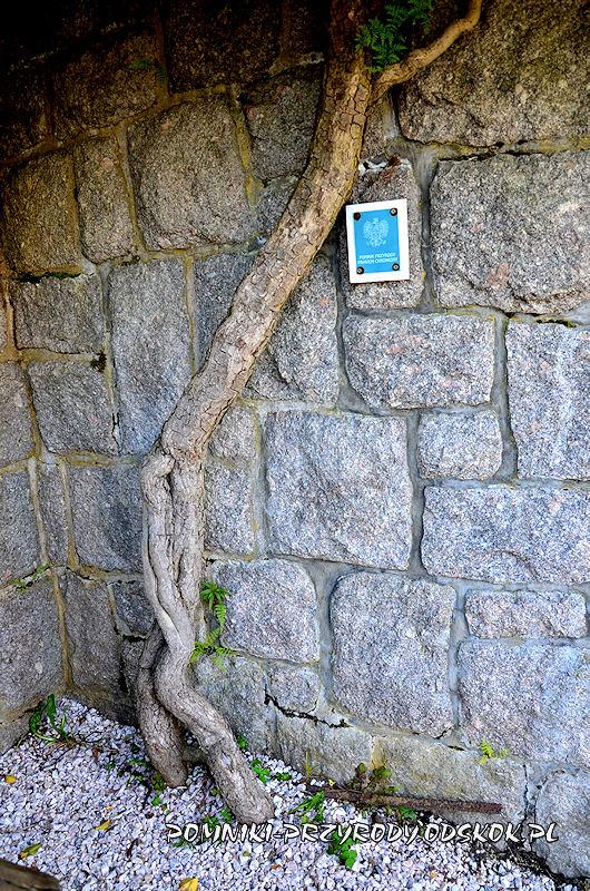 pień pomnikowego bluszczu rosnącego przy Wangu