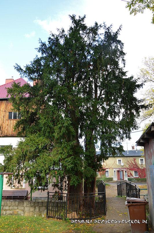 pomnikowe cisy z Piechowic