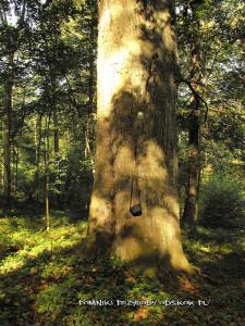 pień pomnikowego buka las między Radłówką a Niwnicami