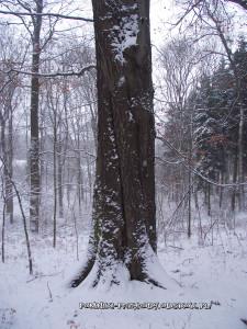 pień pomnikowego buka zimą