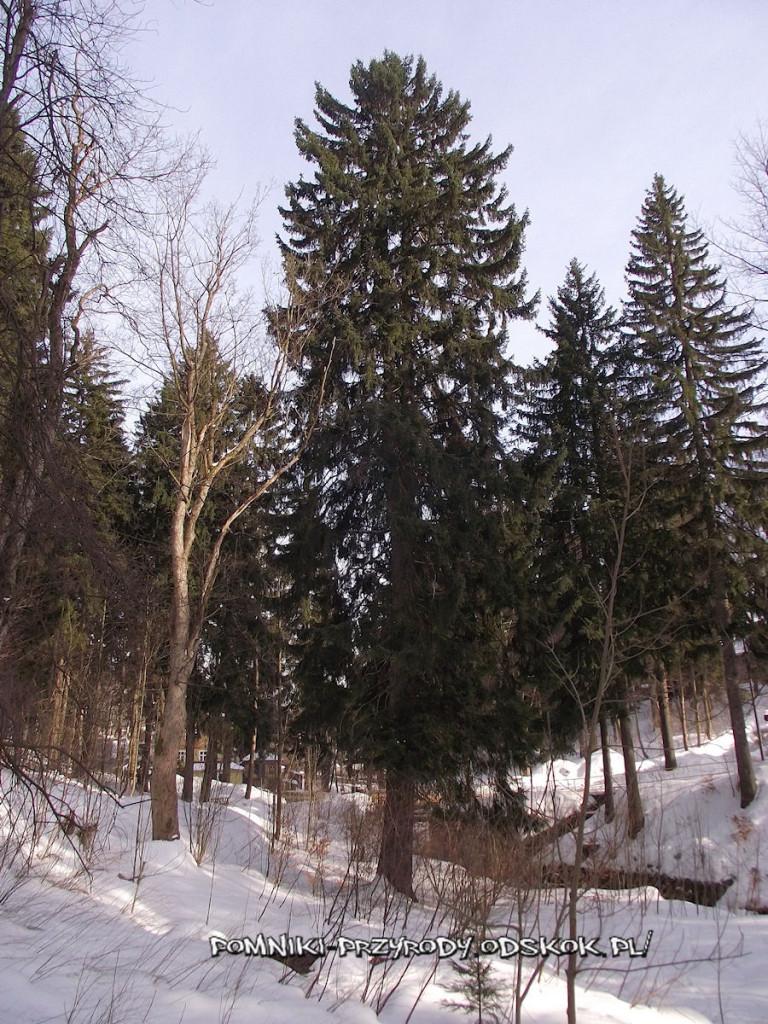 pomnikowy świerk rosnący nad potokiem Bieleń w Szklarskiej Porębie