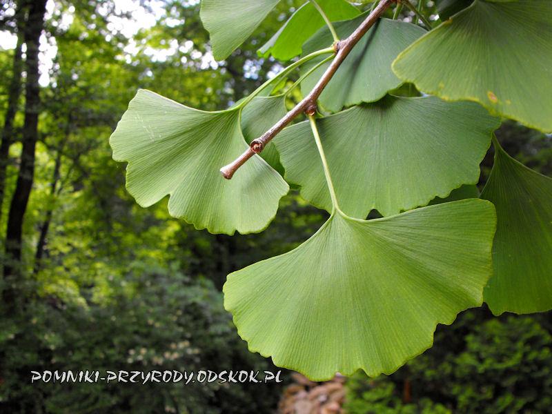 liście miłorzębu dwuklapowego