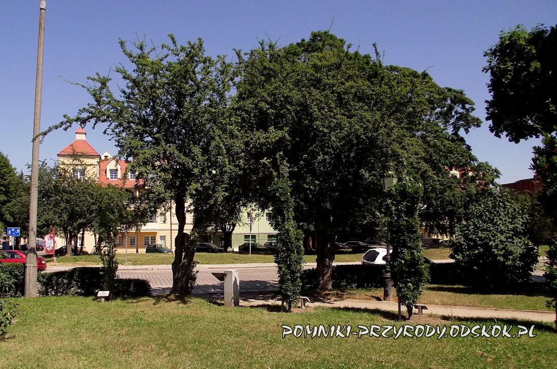 pomnikowe głogi ul. Piekarska w Głogowie