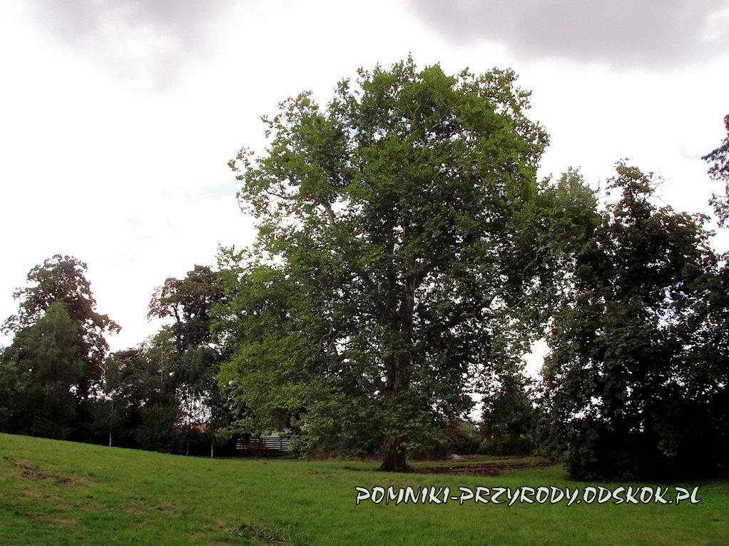 pomnikowy platan w parku przypałacowym w Wierzbnej