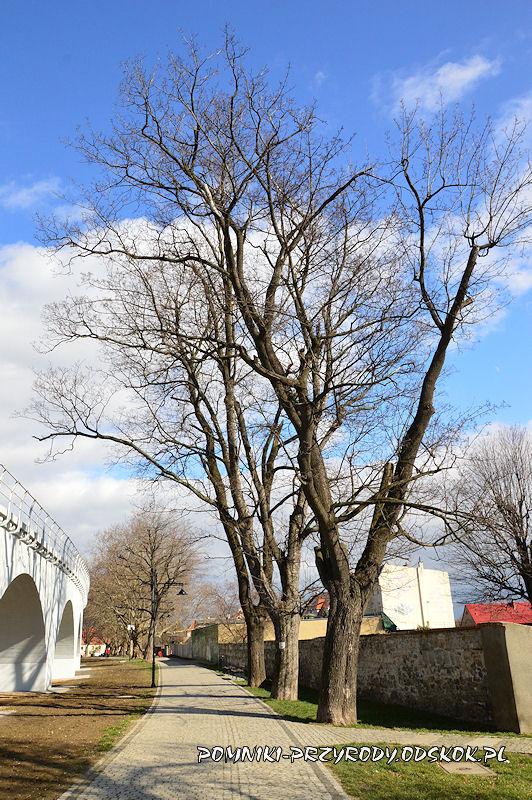 Strzegom - klony jawory w pomnikowej alei
