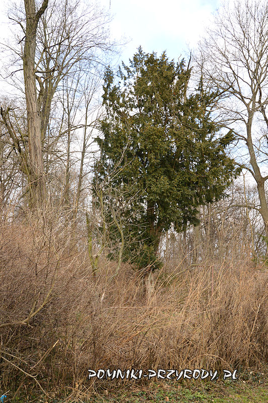 pomnikowy cis na obrzeżu parku w Stolcu