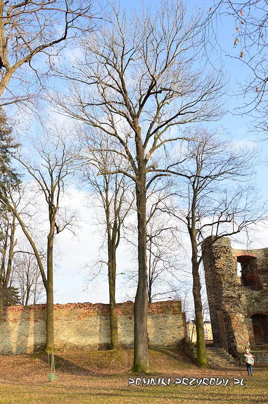 pomnikowy jesion  przy zamku w Ząbkowicach