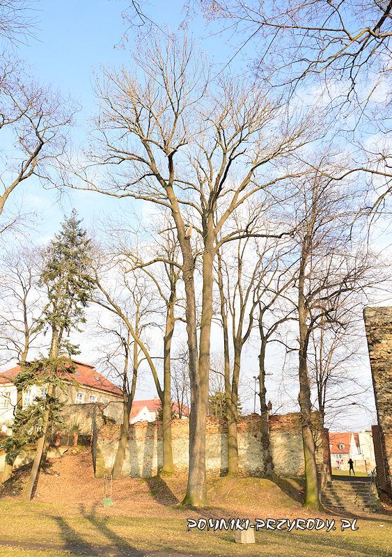 Ząbkowice Śląskie - pomnikowy jesion