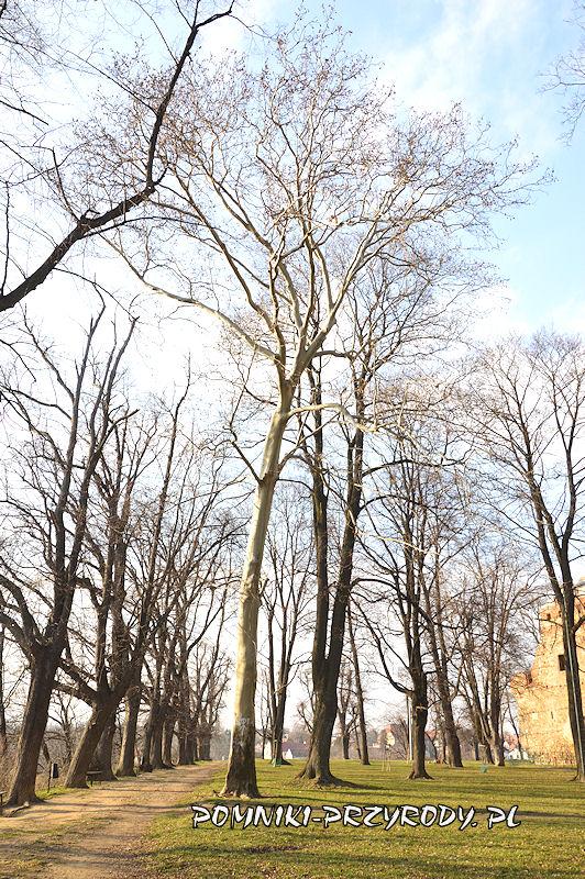platan klonolistny rosnący przy zamku w Ząbkowicach Śląskich