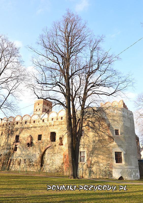 pomnikowa lipa przy zamku w Ząbkowicach Śląskich