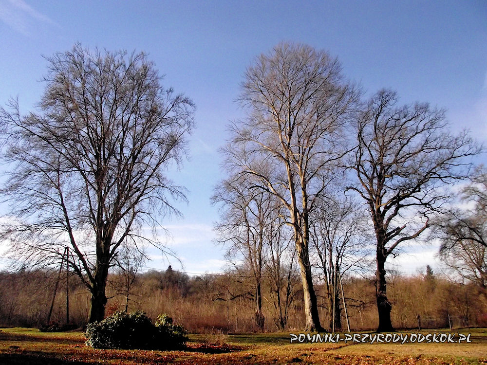 okazałe drzewa w pobliżu zamku w Kliczkowie