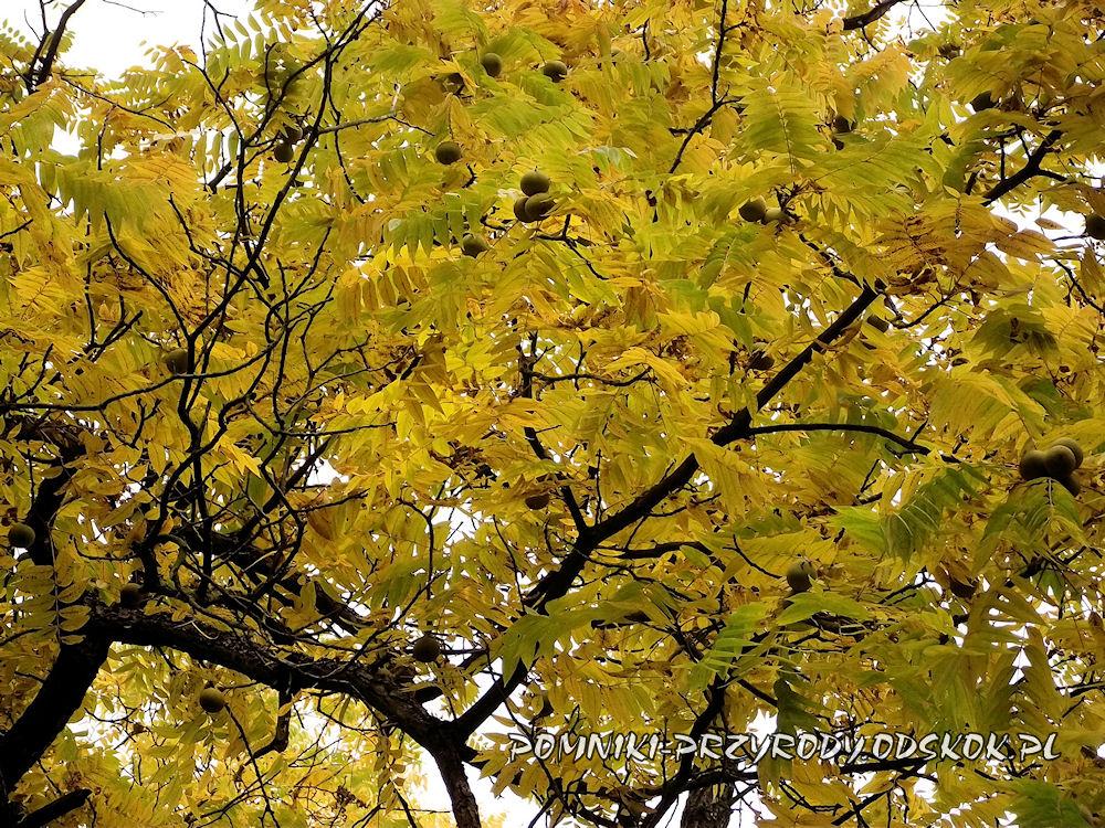 liście i owoce orzecha czarnego