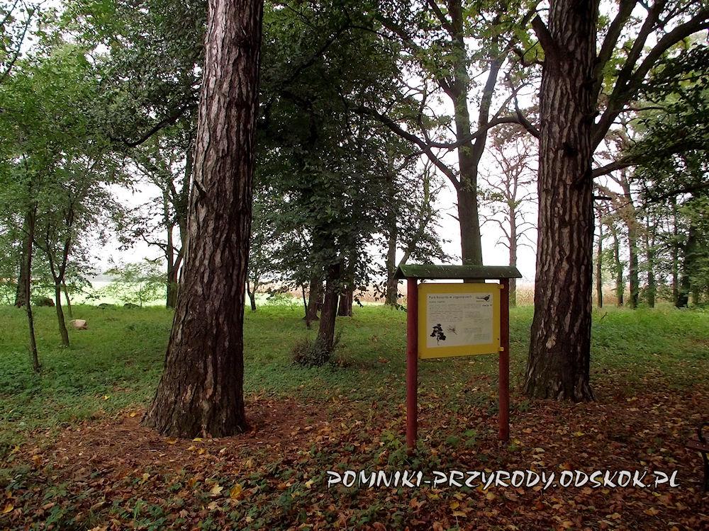 sosny czarne - park w Jagoszycach