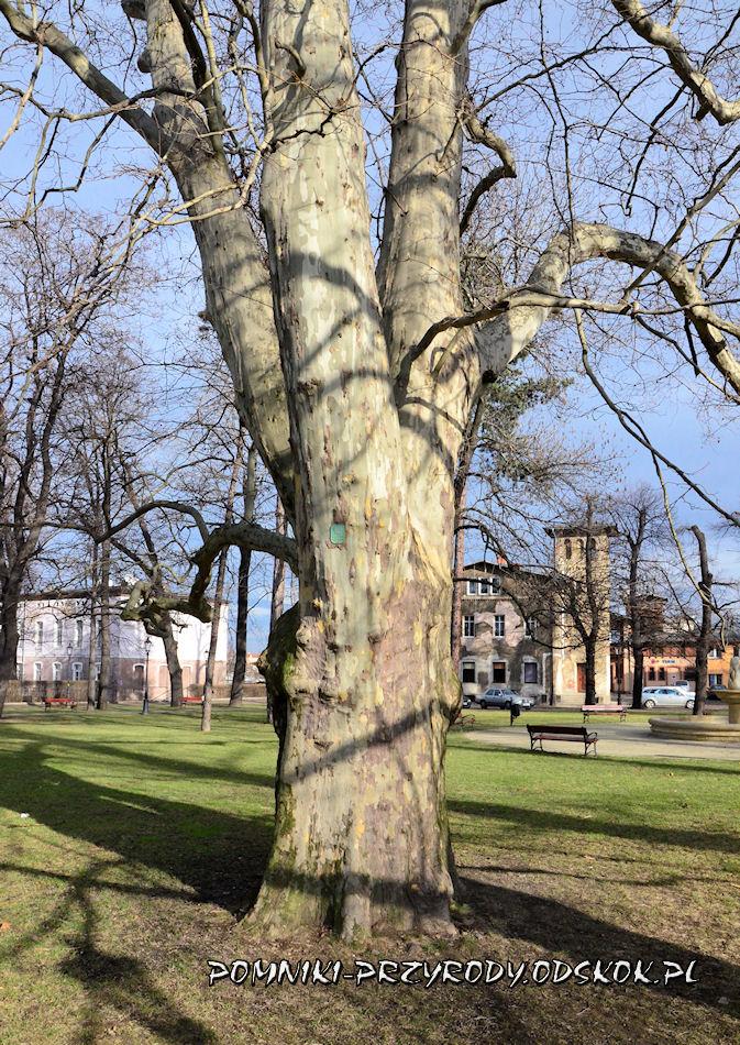 pień pomnikowego platana - Park Miejski w Świebodzicach