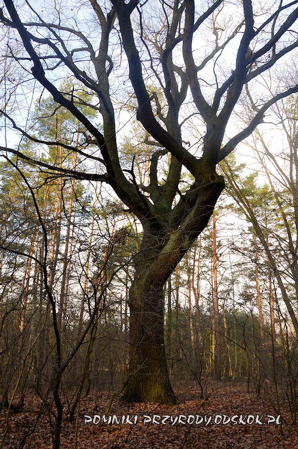 Park Leśny w Lubinie - pień pomnikowego dębu