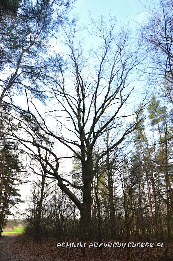 Park Leśny w Lubinie - pomnikowy dąb