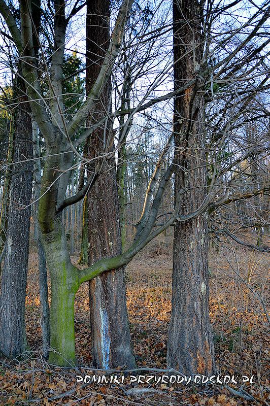 lipa-obejmujaca-daglezje-zielona