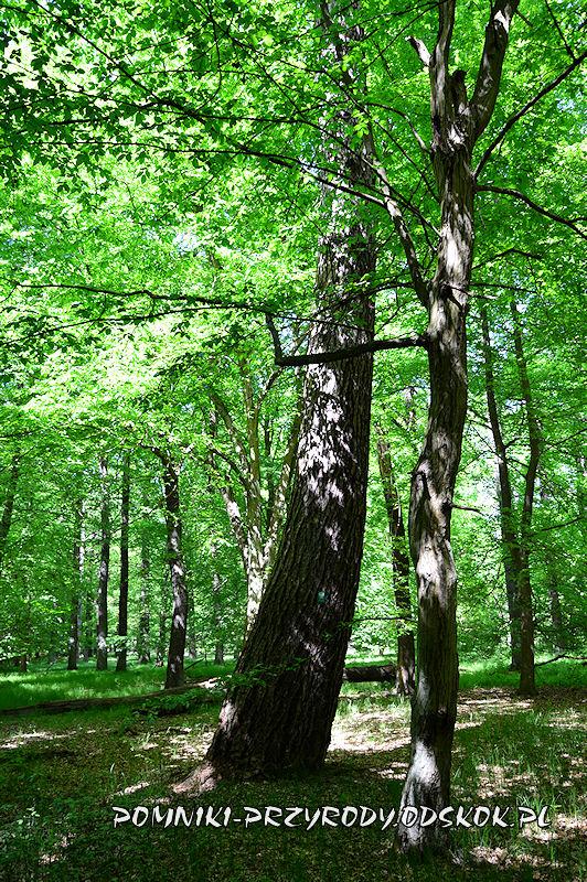 Rezerwat nad Młyńską Strugą - pień pomnikowego modrzewia latem