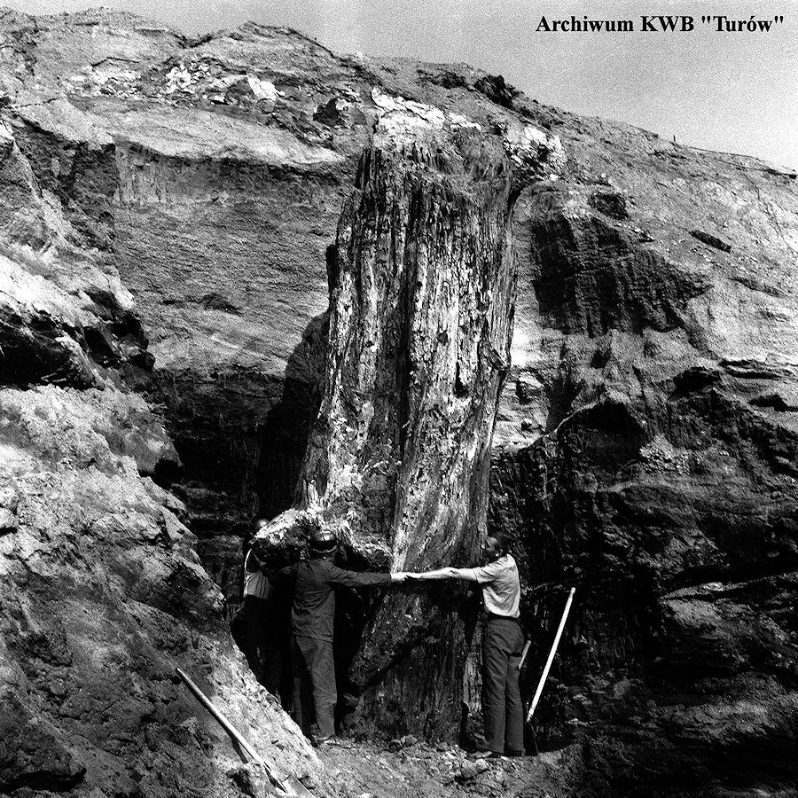 zdjęcie dokumentujące moment wydobycia pnia