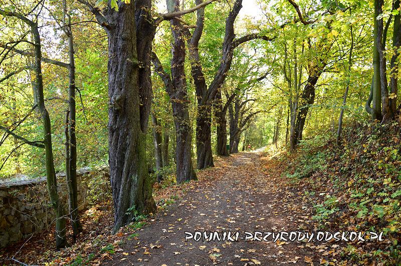 aleja kasztanowcowa w Myśliborzu jesienią