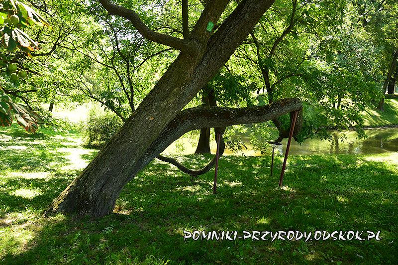 Park Miejski w Zamościu - podpory pomnikowego korkowca amurskiego