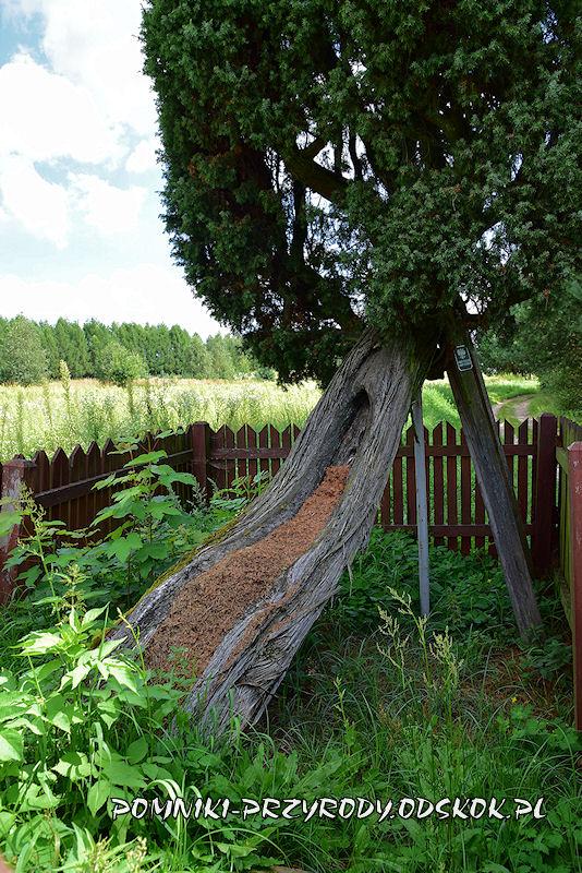 Bełżec - pień pomnikowego jałowca