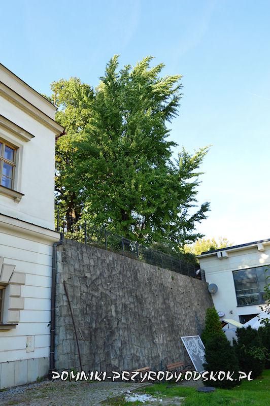 Wzgórze Zamkowe w Cieszynie - pomnikowy miłorząb