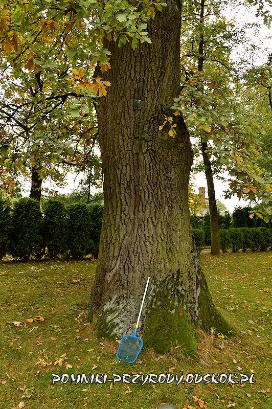 park przy Dworze Dębowiec - pień pomnikowego dębu
