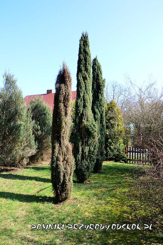 jałowce w arboretum przy leśnictwie Krzyżowiec