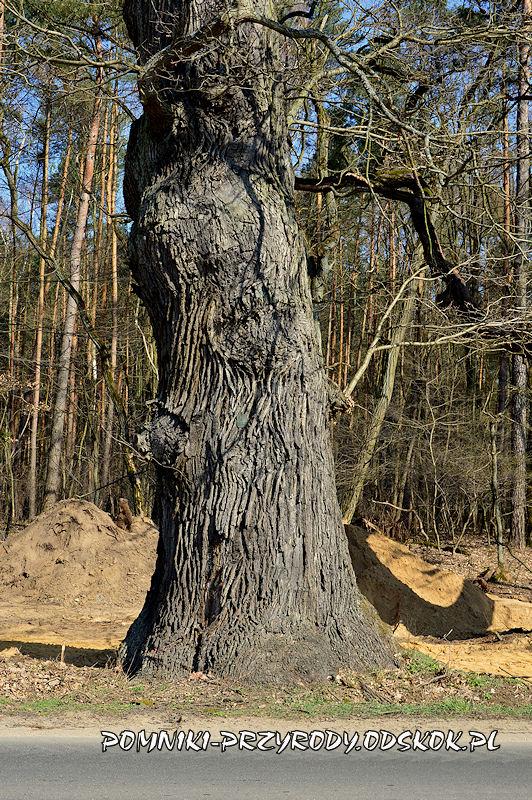 pień pomnikowego dębu I rosnącego przy leśnictwie Krzyżowiec