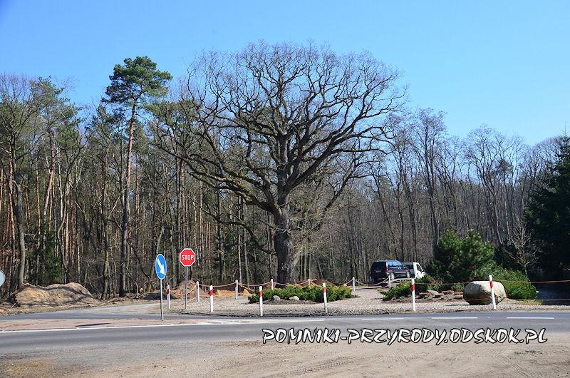 pomnikowy dąb rosnący przy leśniczówce Krzyżowiec