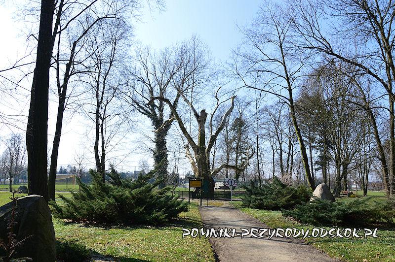pomnikowy platan we Włoszakowicach od strony wschodniej