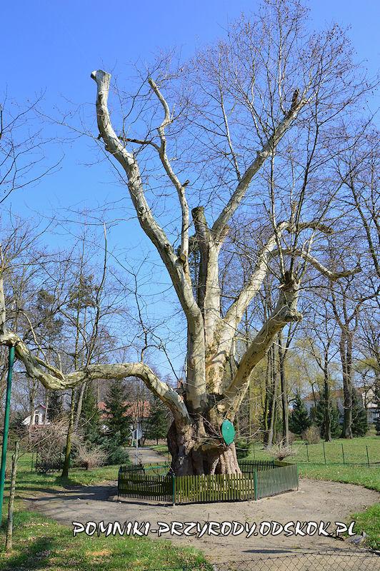 pomnikowy platan we Włoszakowicach wczesną wiosną
