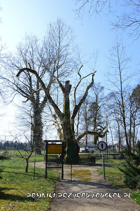 pomnikowy platan we Włoszakowicach widoczny od wschodu