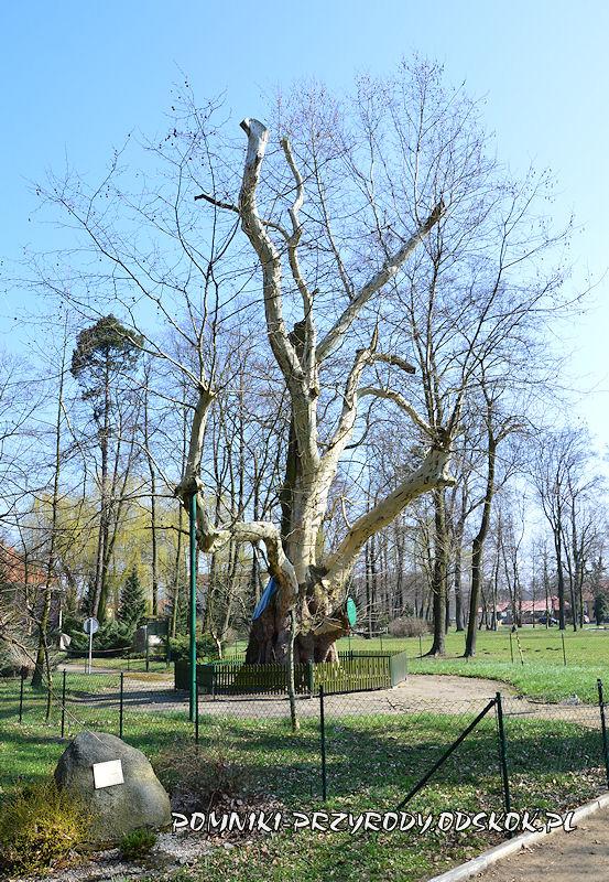 pomnikowy platan we Włoszakowicach wiosną
