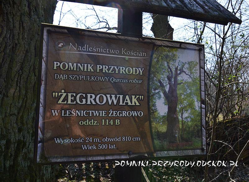 tablica przed dębem Żegrowiak