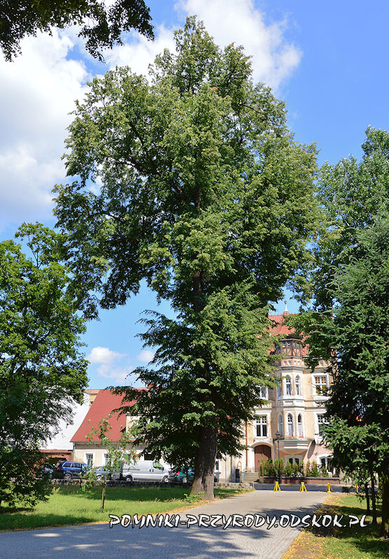 Leszno - jedna z pomnikowych lip