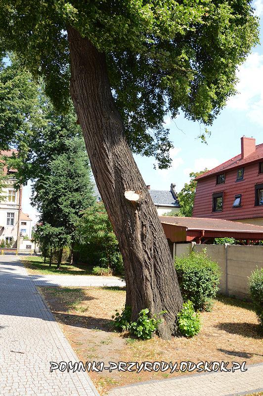 Leszno - pień pomnikowej lipy