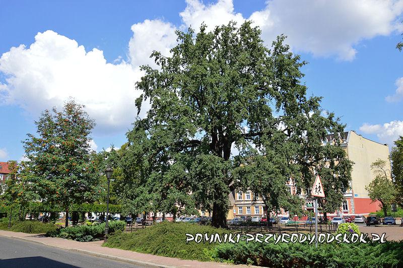 Leszno - pomnikowy dąb Bolek