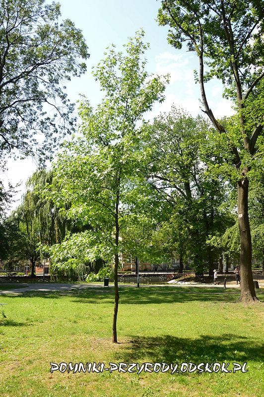 Park Miejski w Lesznie - ambrowiec amerykański latem