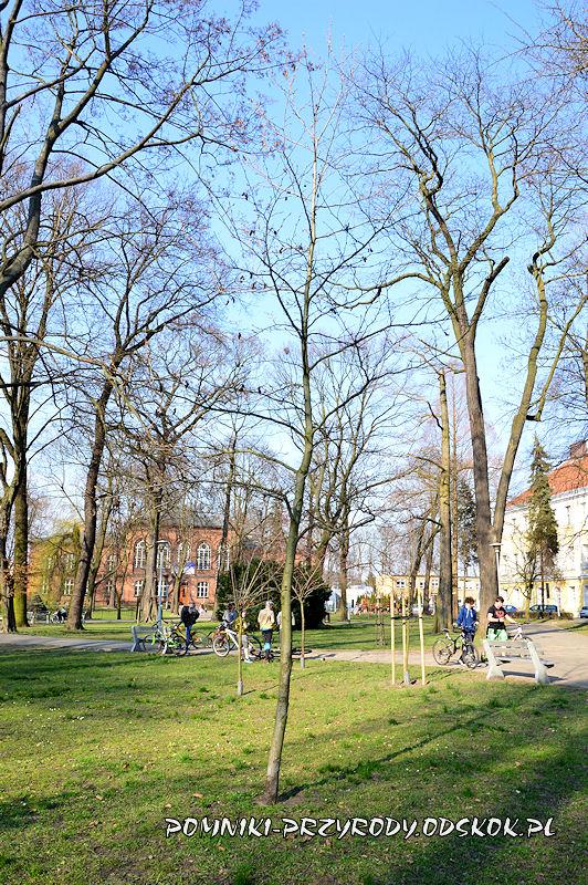 Park Miejski w Lesznie - ambrowiec amerykański wczesną wiosną
