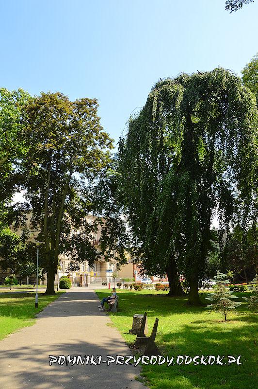 Park Miejski w Lesznie - buk w odmianie Pendula i klon w odmianie purpurowej