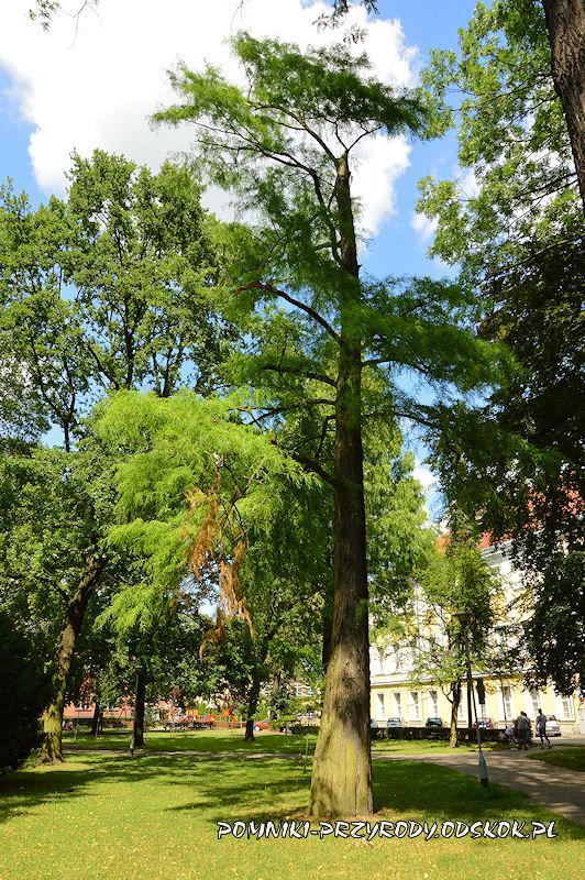 Park Miejski w Lesznie - cypryśnik błotny