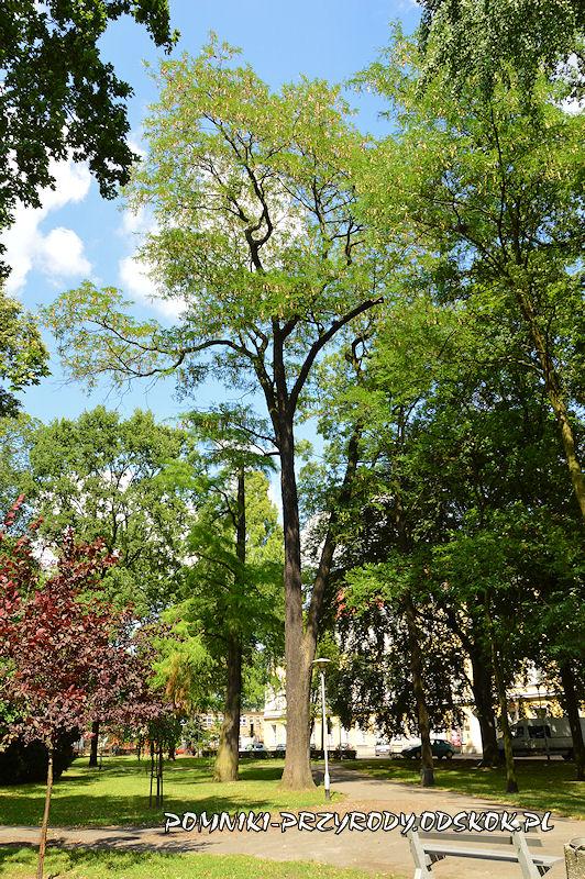 Park Miejski w Lesznie - iglicznia trójcierniowa latem