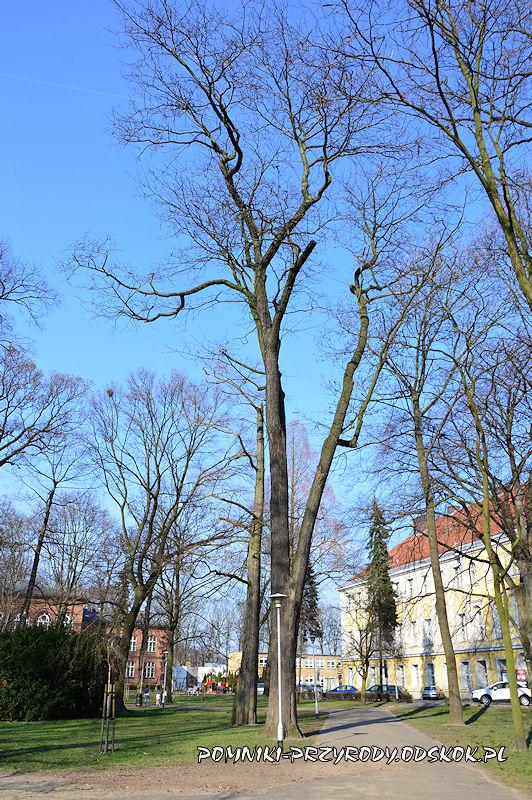 Park Miejski w Lesznie - iglicznia trójcierniowa wczesną wiosną