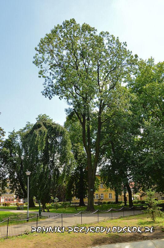 Park Miejski w Lesznie - jesion wyniosły