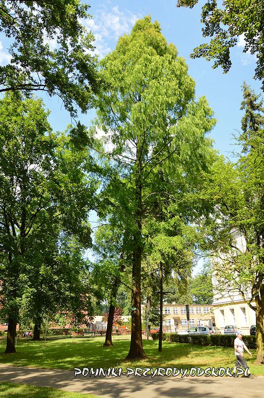 Park Miejski w Lesznie - metasekwoja chińska