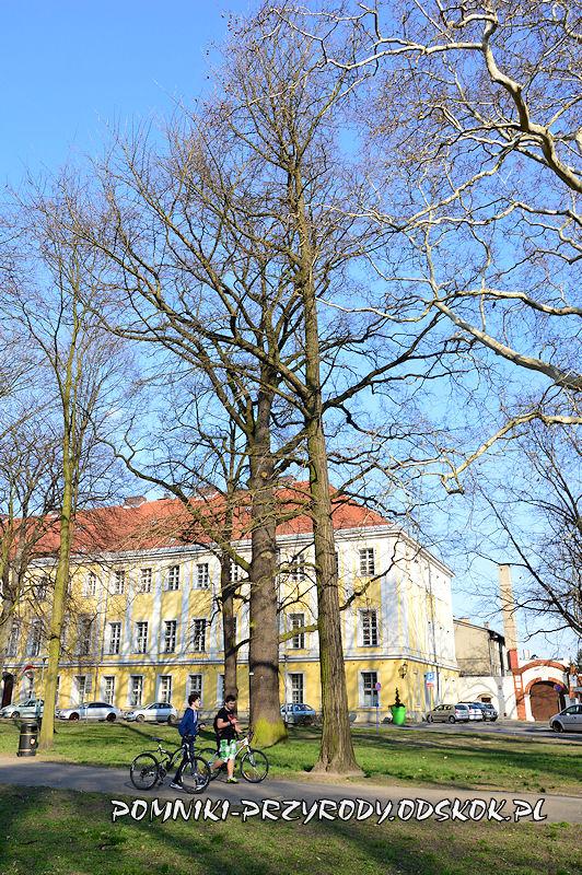 Park Miejski w Lesznie - miłorząb dwuklapowy i dąb szypułkowy