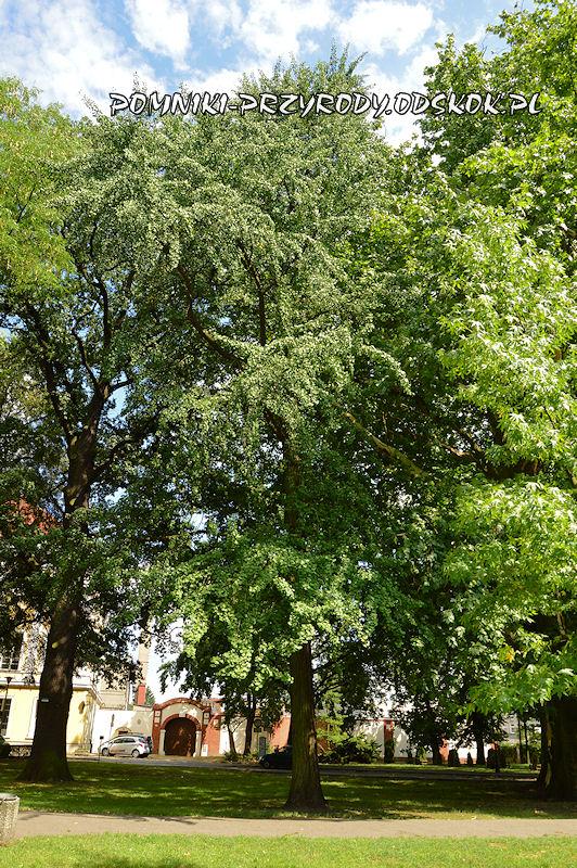 Park Miejski w Lesznie - miłorząb dwuklapowy