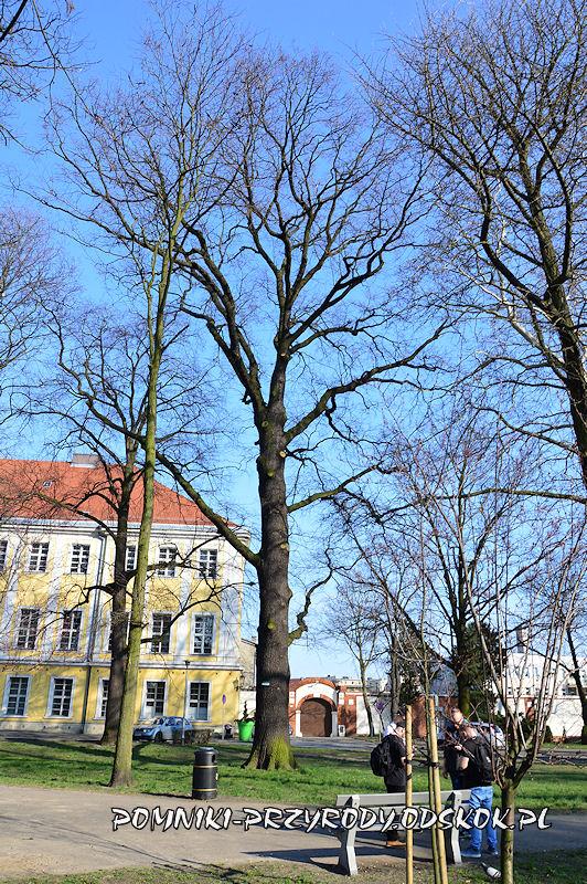 Park Miejski w Lesznie - okazały dąb szypułkowy